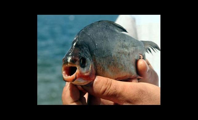 İznik Gölü'nde Pirana Alarmı!