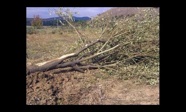 Ağaç katliamına çarpıcı rapor