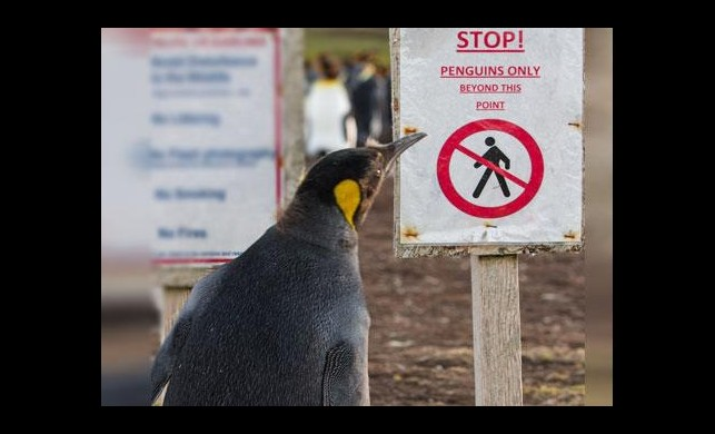 Uyarı levhasını okuyan penguen!