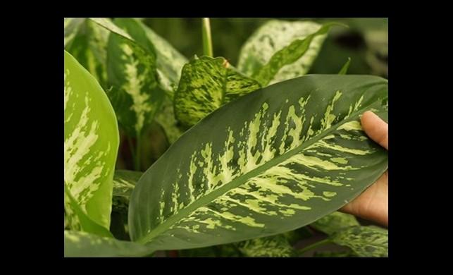 Evinizdeki Süs Bitkileri Öldürücü Olabiliyor!