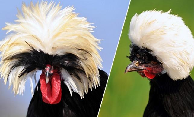 'Rahibe fizan' tavuk cinsi, ilginç görünümüyle dikkat çekiyor