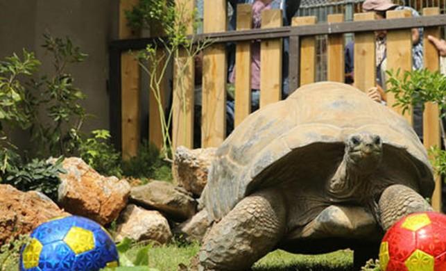 Kaplumbağa Tuki, derbinin galibini seçti