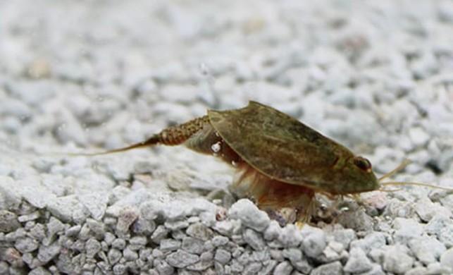 Triops Cancriformis (yaşayan fosil) nedir? Nerelerde yaşar?