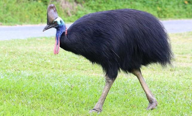 Cassowary kuşu nerelerde yaşar, özellikleri neler?