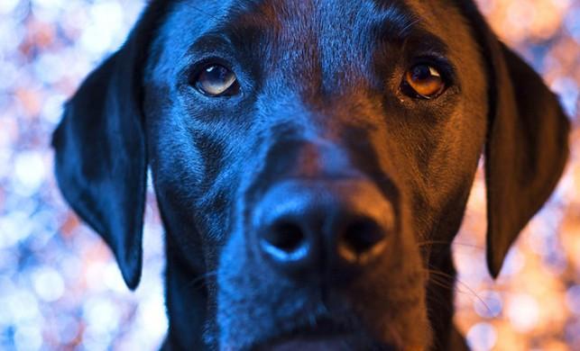 Köpeklerin 'üzgün' bakışlarının nedeni ortaya çıktı! Şaşırtan araştırma