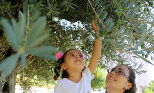 Bin 202 yıllık ağaç zeytin verdi