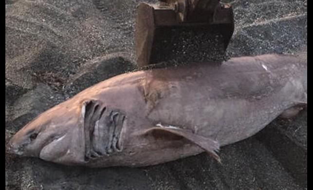 Sahile vuran köpek balığını belediye mezarlığına defnettiler