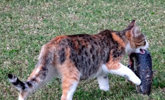 Mersin Bozyazı'da kıyıya vuran balon balıklarını yiyerek zehirlenen kediler öldü