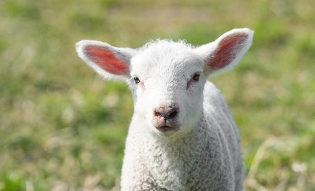 Türkiye, Afganistan'dan çoban getirecek