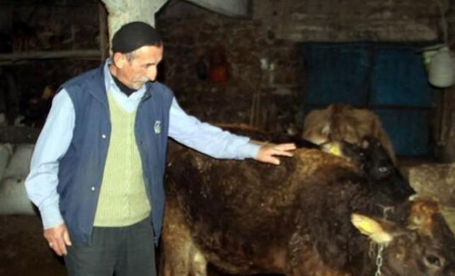 Yola çıktığı için trafik cezası kesilen inek hakkında jandarmadan açıklama geldi
