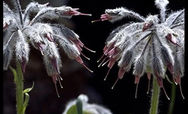 'Denizli Yünlügelini' isimli yeni bitki türü keşfetti