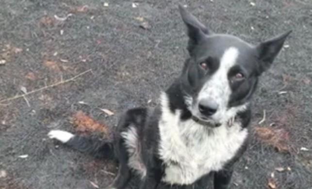 Avustralya'da kahraman köpek 900 koyunu kurtardı