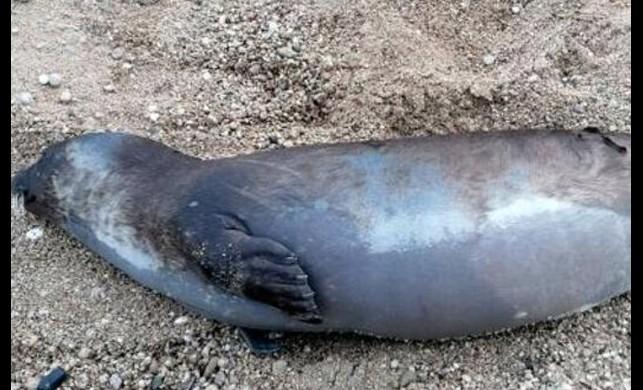 Antalya'da ikinci kez Akdeniz foku kıyıya vurdu! Vatandaşlar tedirgin