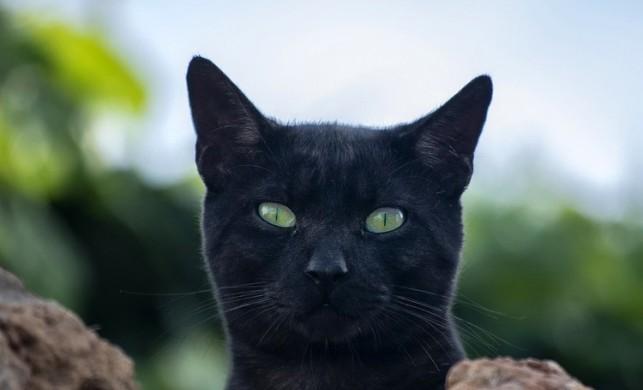 Belçika'nın Valon Bölgesi'nde bir kediye, sahibinden koronavirüs bulaştığı tespit edildi