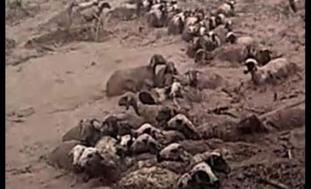 Van'da 74 koyun sele kapılarak öldü