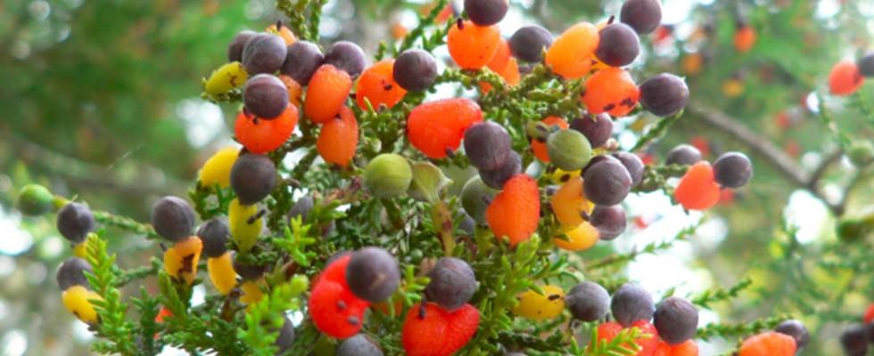 Bu ağaçta tam 40 çeşit meyve var!
