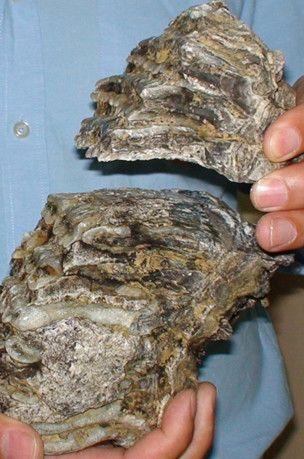 Tam 2.5 milyon yıllık mamut fosili bulundu