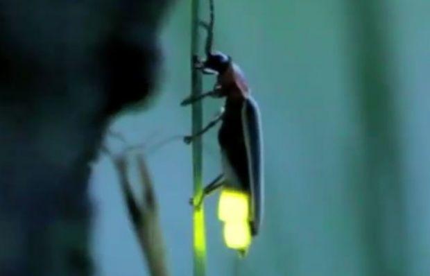 Ateş böceği nasıl ışık saçar?