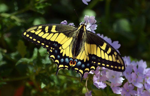 Bildiklerinizi unutun! Kelebeklerin ömrü...