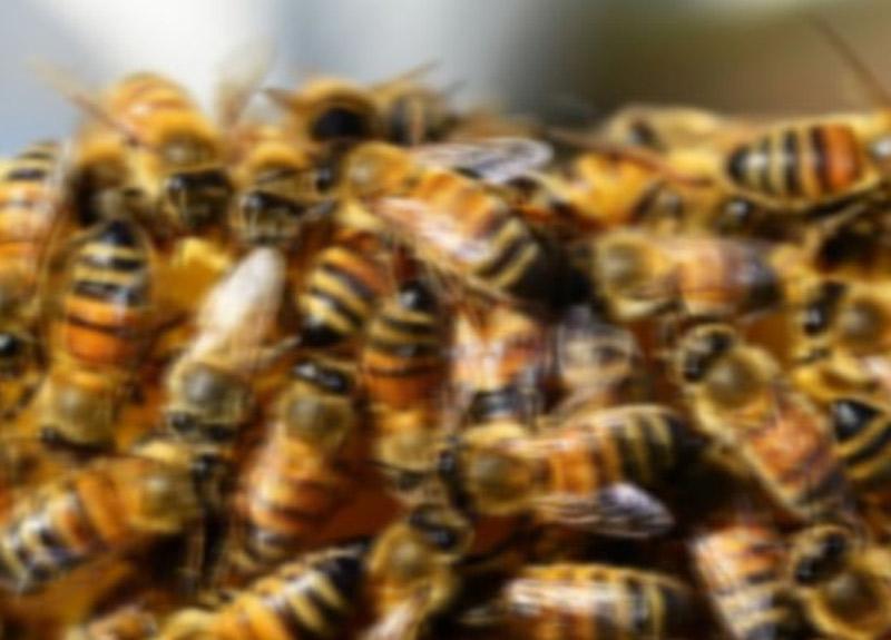 Tunceli'de arı saldırısı: 1 ölü, 3 yaralı