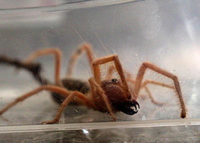 İnşaatta bulduğu et yiyen örümceğe Hüsamettin adını verdi: Her gün et veriyoruz
