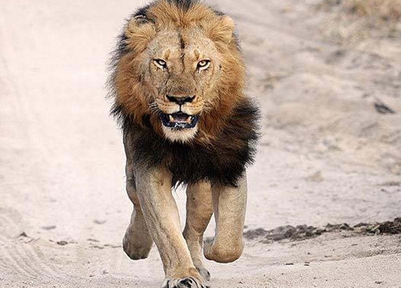 Bir şehir diken üstünde! Hayvanat bahçesinden aslan kaçtı