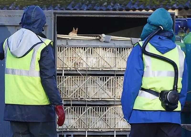 Polonya'da kuş gribi alarmı! 100 binden fazla hayvan itlaf edildi