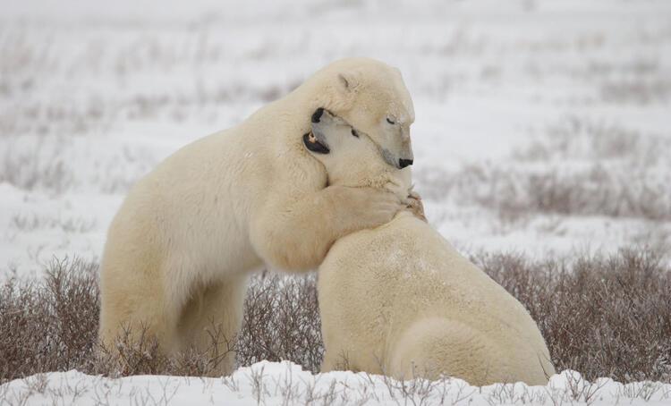 Havalar ısınıyor, kutup ayıları birbirlerini yiyor