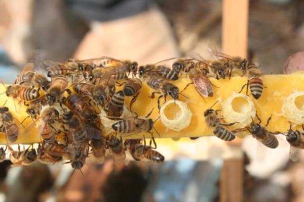 Koronavirüs arı sütüne talebi arttırdı!