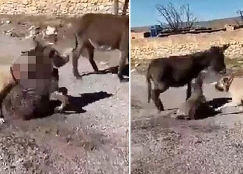 Çoban köpeklerini sıpaya saldırtan genç, serbest bırakıldı