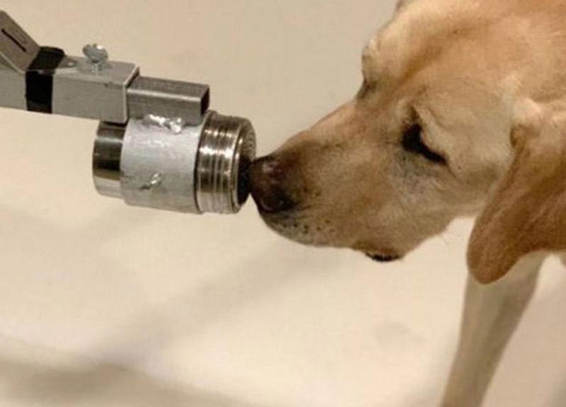 Köpekler koronavirüs vakalarını koklamak için eğitiliyor!