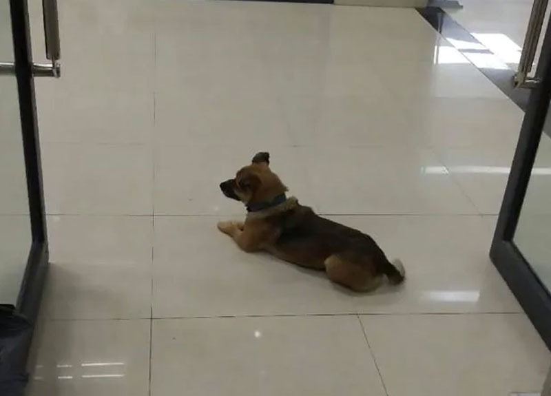 Ölen sahibini 3 aydır hastanede bekleyen köpek yürek burktu