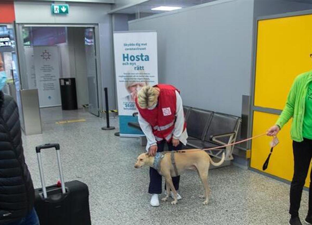Koronavirüsü tespit eden köpekler göreve başladı!