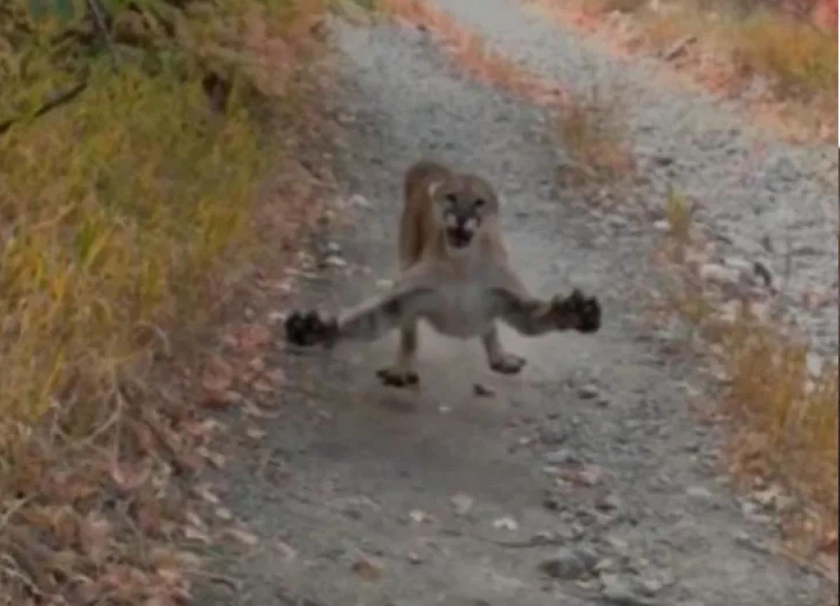 ABD'de korkunç olay! Vahşi pumayla yüz yüze geldi, saniye saniye kaydetti