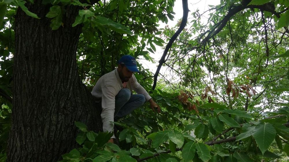 Aydın'da meyve silkme işi günde 400 lira kazandırıyor!