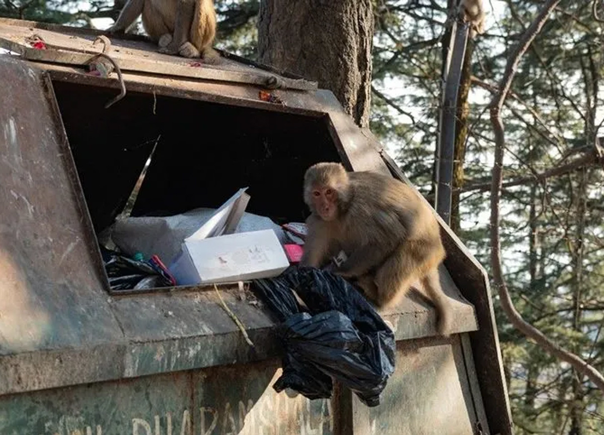 Hindistan'da maymunlar şehri istila etti! Hükümet öldürün emri verdi...