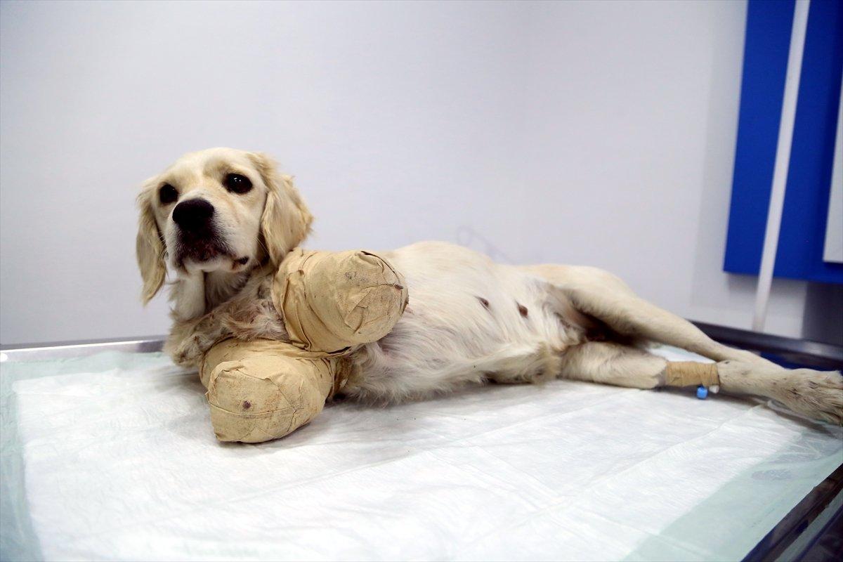 Samsun'da bacakları kesilmiş halde bulunan köpekten iyi haber!