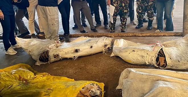 Hayvanat bahçesinde korkunç görüntü! 20 kaplan ölü olarak ele geçirildi...