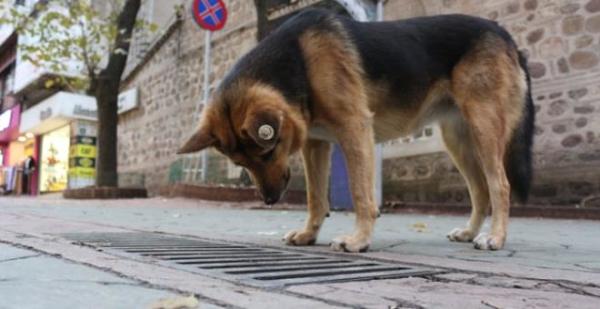 Her gün aynı yere gözünü dikip bakıyordu! 'Mazgal Köpek' nöbetine kaldığı yerden devam ediyor