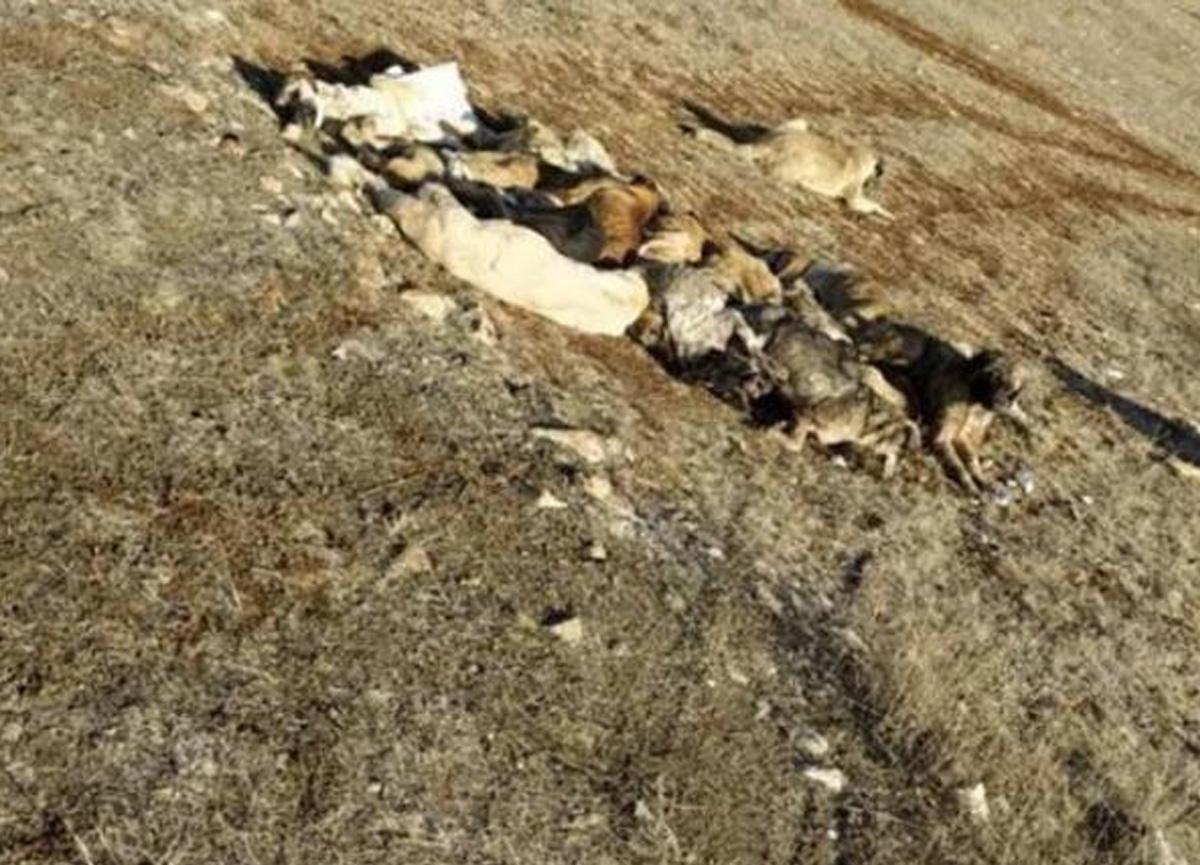 Boş arazide baygın halde bulunan 29 köpek tedavi altına alındı
