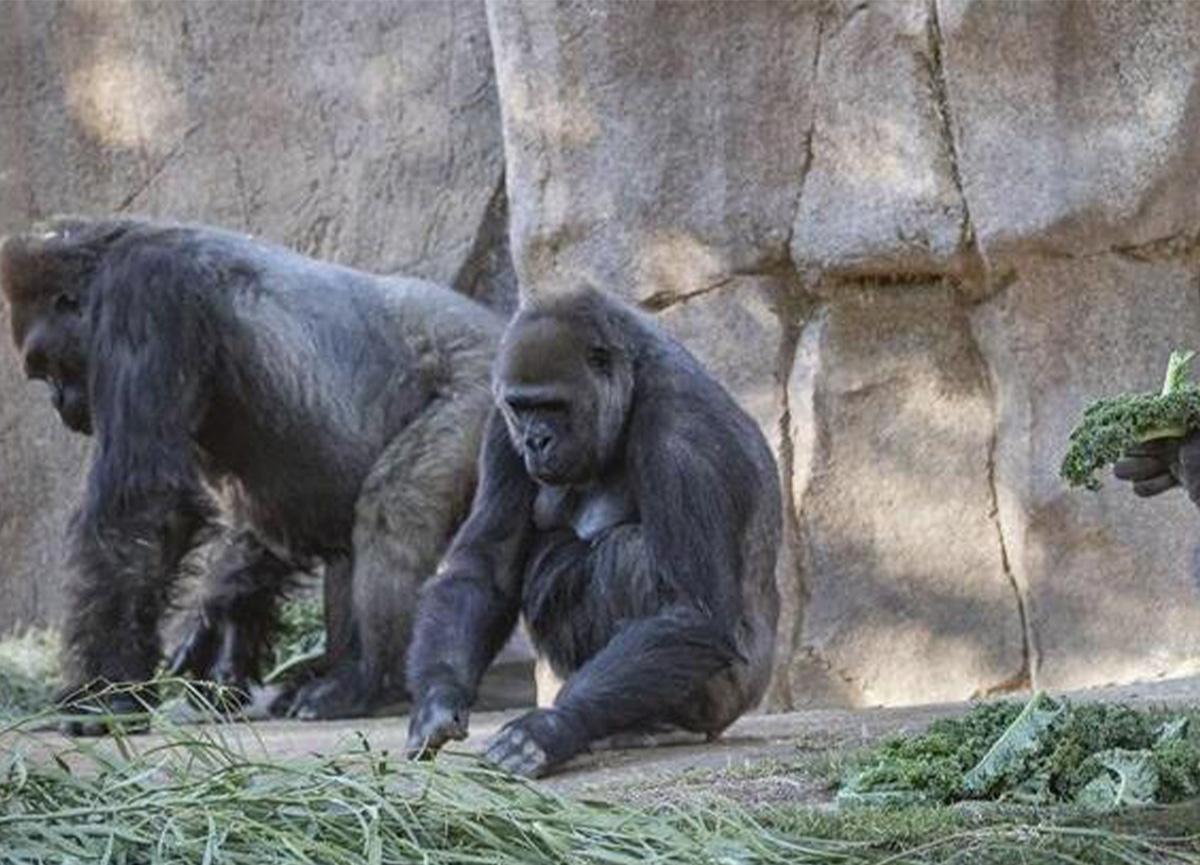 Hayvanat bahçesinde koronavirüs vakası! Gorillerde tespit edildi!