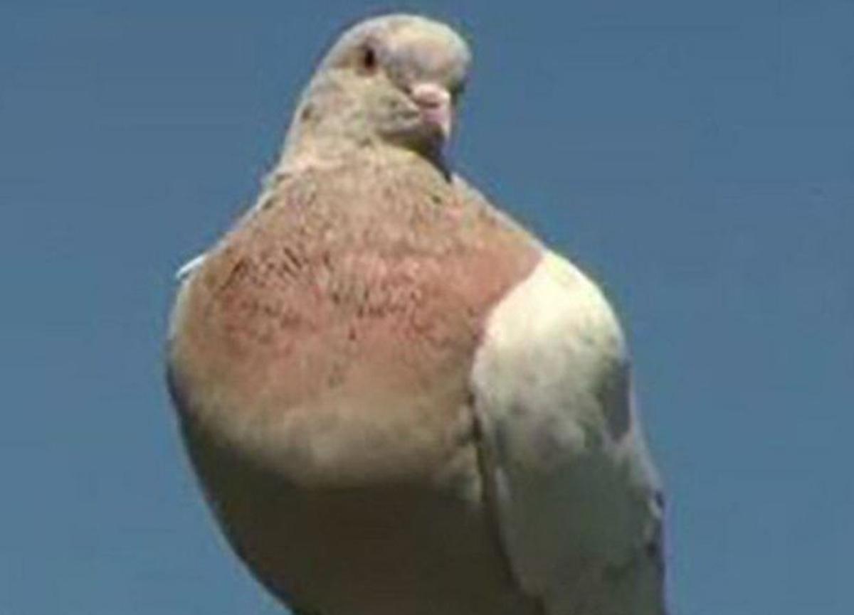 13 bin kilometre uçup ABD'den Avustralya'ya giden 7 milyon TL'lik güvercin itlaf edilecek