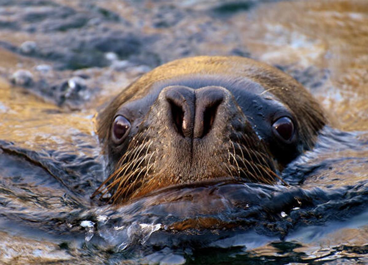 Deniz aslanına tüberküloz teşhisi koyuldu! Uzmanlar, 'insanlar için tehlike' dedi!