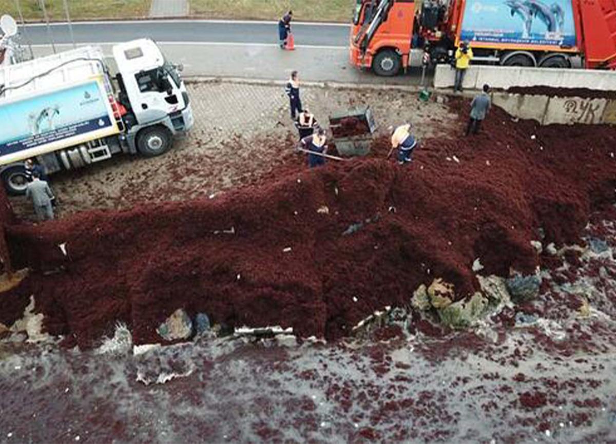 Caddebostan sahilindeki kırmızı yosunlar kamyonlarla taşınıyor