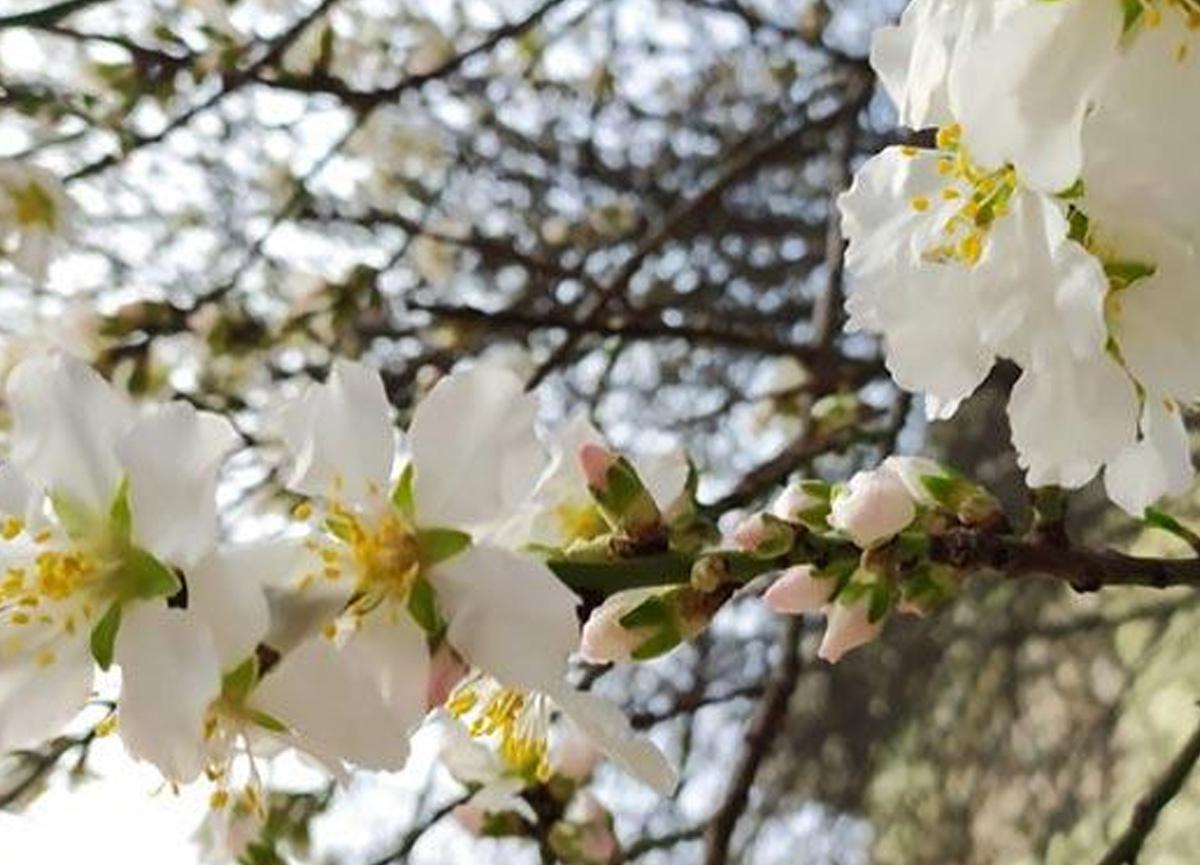 Hava sıcaklıkları arttı... Edirne'de ağaçlar şubat ayında çiçek açtı