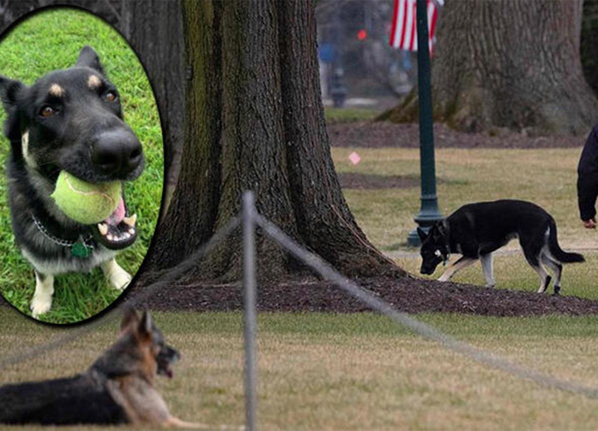 Joe Biden'ın köpeği Beyaz Saray'dan kovuldu