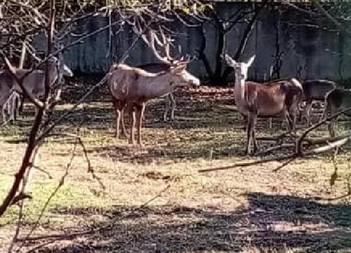Zonguldak'ta inanılmaz olay: Hayvanat bahçesinden çaldıkları geyiği kesip yediler