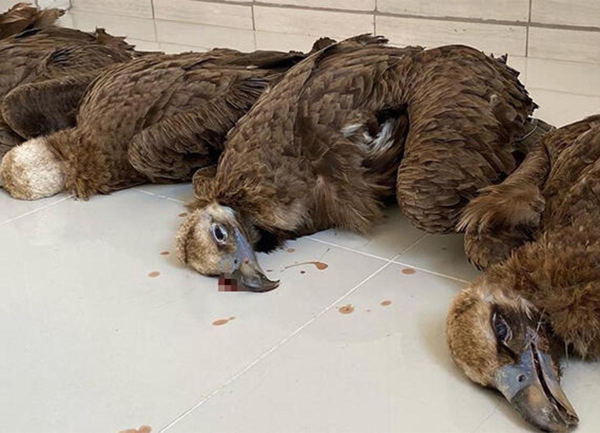 Afyonkarahisar'da 7 kara akbabayı zehirli et öldürdü!