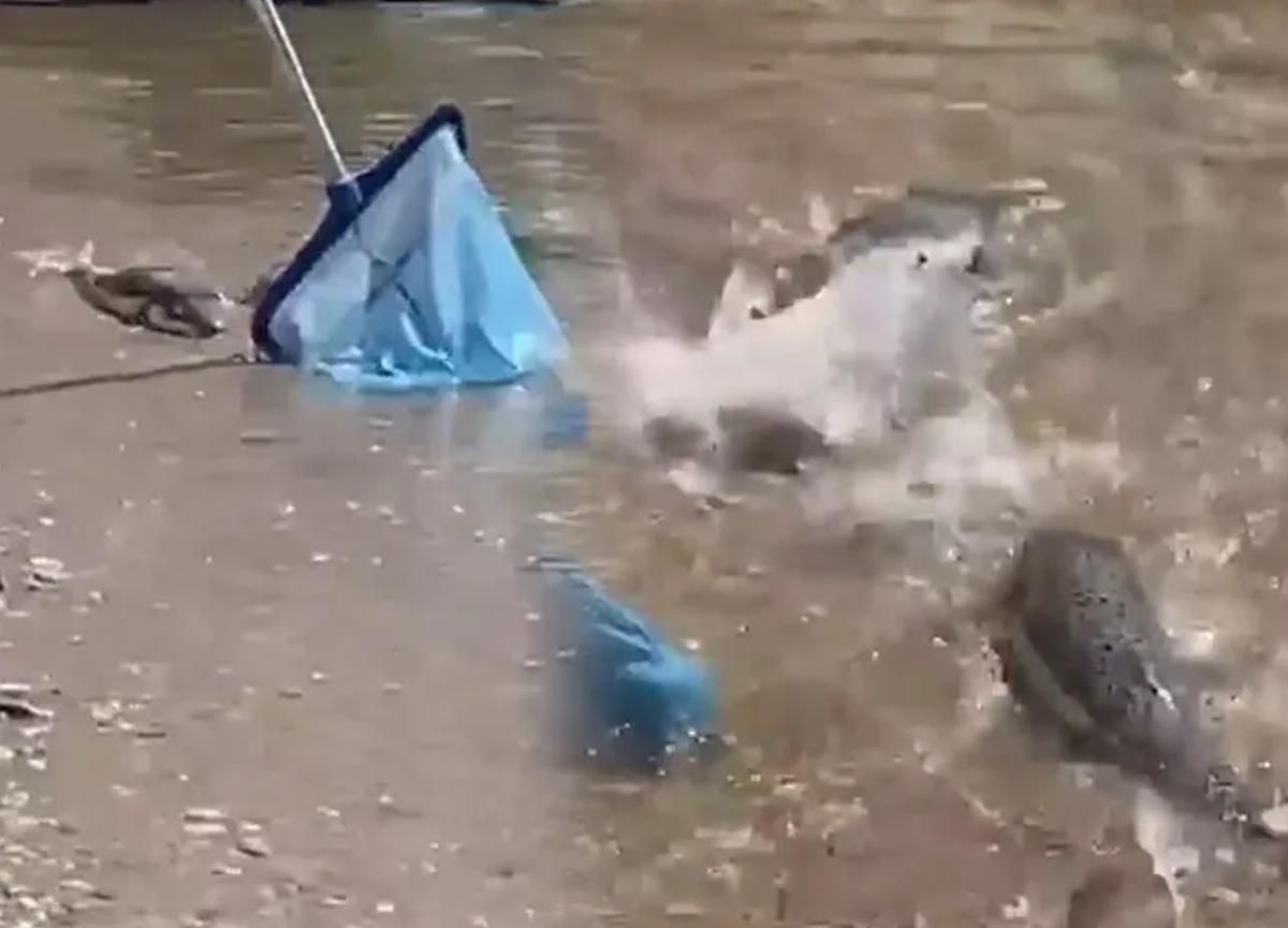 Alanya'da balon balığı paniği! Dev balon balıkları sahile vurdu...