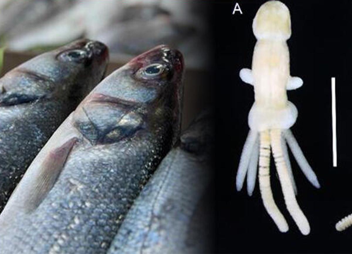 Denizlerdeki yeni tehlike! Balık kenesi parazit taşıyıcısı ortaya çıktı
